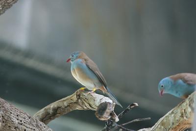 Blue-capped Cordon Bleu
