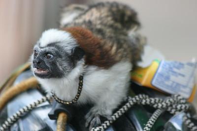 Monkey-like Pet at Veggie Market