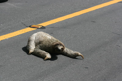 3-Toed Sloth on Road to