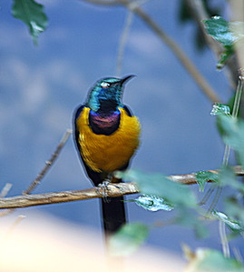 Gold-breasted Starling