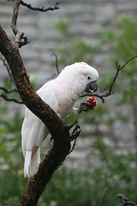 Salmon Crested Cockatoo