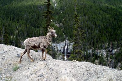 Wild Goat at Takakkaw Falls