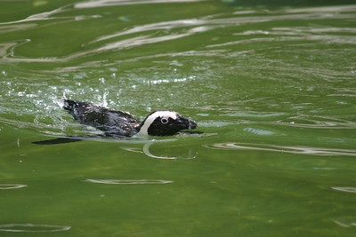 Black-footed Penguin