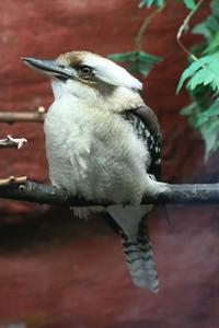 Laughing Kookabura