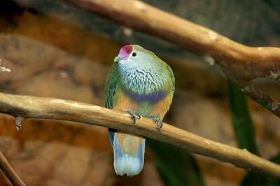 Marianas Fruit Dove