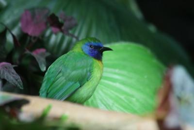 Blue-masked Leafbird