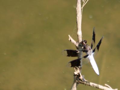 White-tailed Skimmer Dragonfly