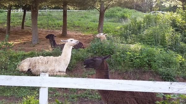Llamas near my Motel