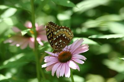 Field Crescentspot Butterfly