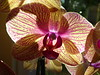 Come into the orchid splendor ... glowing golden and magenta