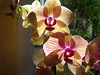 Kaleidoscope ~ Phalaenopsis Orchid ~ backlight morning light ~ glimpses of the glittering petals which are in fact starch!