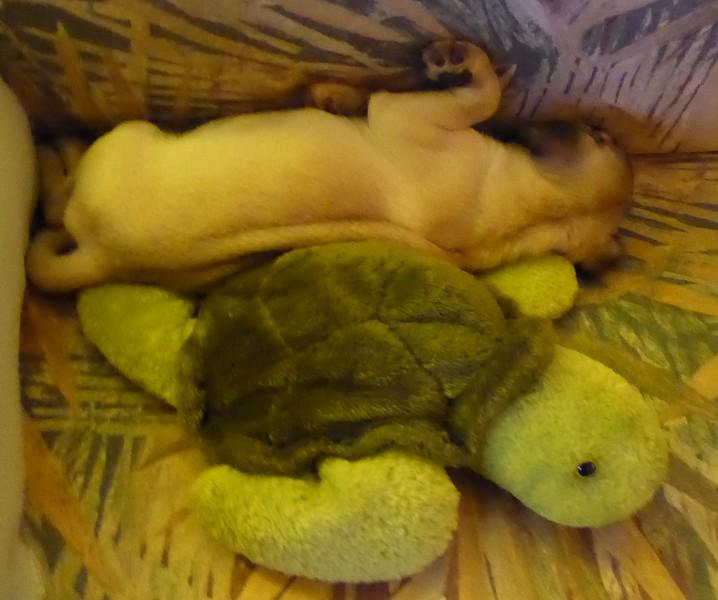 Precious Turtle Dreams PP1050173