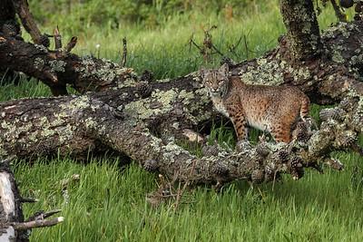 Bobcat standing in moss & pinecones