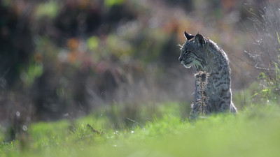 Bobcat Thoughts