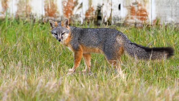 Gray Fox Specimen.