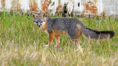 Gray Fox Specimen.