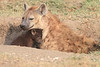 Spotted_Hyena_Mara_Asilia_Kenya0088