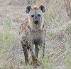 Hyena Ngala Kruger South Africa