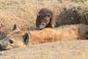 Spotted_Hyena_Mara_Asilia_Kenya0082