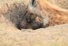 Spotted_Hyena_Mara_Asilia_Kenya0079