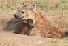 Spotted_Hyena_Mara_Asilia_Kenya0087