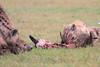 Spotted_Hyena_Mara_Asilia_Kenya0092