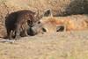 Spotted_Hyena_Mara_Asilia_Kenya0085