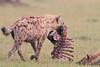 Spotted_Hyena_Mara_Asilia_Kenya0096