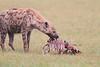 Spotted_Hyena_Mara_Asilia_Kenya0098