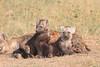 Spotted_Hyena_Mara_Asilia_Kenya0091