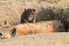 Spotted_Hyena_Mara_Asilia_Kenya0081