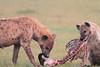 Spotted_Hyena_Mara_Asilia_Kenya0095