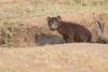 Spotted_Hyena_Mara_Asilia_Kenya0086