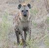 Adult Hyena Kwetsani Botswana