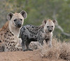 Hyena Family Ngala Kruger South Africa