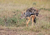 Black Backed Jackal looking for some leftovers amongst a clan of spotted Hyena.