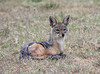 Black Backed Jackal in Southern Serengeti Tanzania.