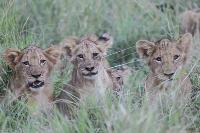 Lion - Løve