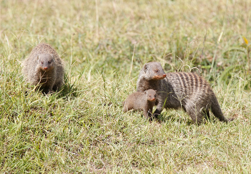 Banded Mongoose in Mara Conservancy