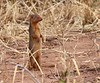 Dwarf Mongoose Tarangire Park