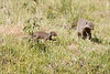 I am going for an outing.  Not quite sure what an outing IS but I'm going there. Banded Mongoose in Mara Conservancy