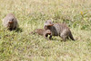 Baby and adult Banded Mongoose in Mara Conservancy