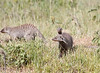Banded Mongoose in Mara Conservancy at Den.