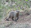 Banded Mongoose Mara Park Kenya