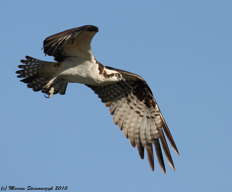 Osprey in the air