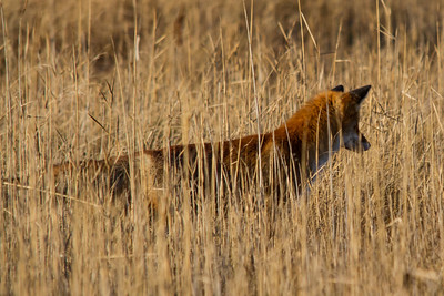 Red Fox ~ Ræv