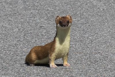 Weasel - Lækat
