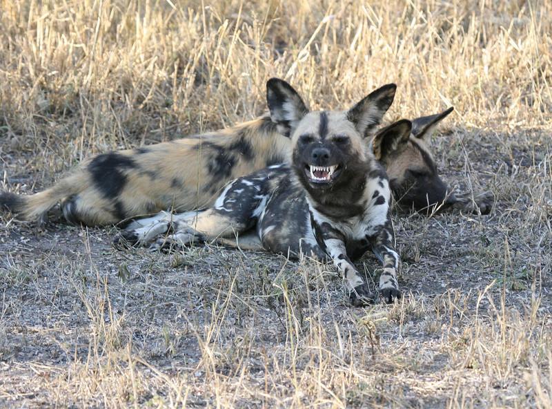 Wild Dog Ngala South Africa