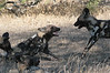 Play time. Wild Dog Ngala South Africa