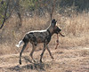 Who says they did offer a 'Doggy bag'? Wild Dog Ngala South Africa